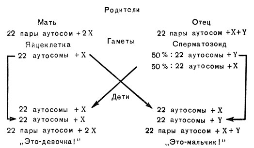 Разделение сперматозоидов