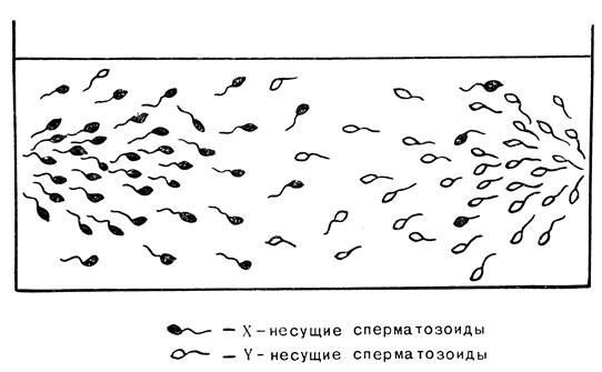 Сперматозоид петуха