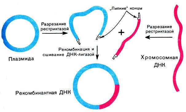 Получение рекомбинантной днк