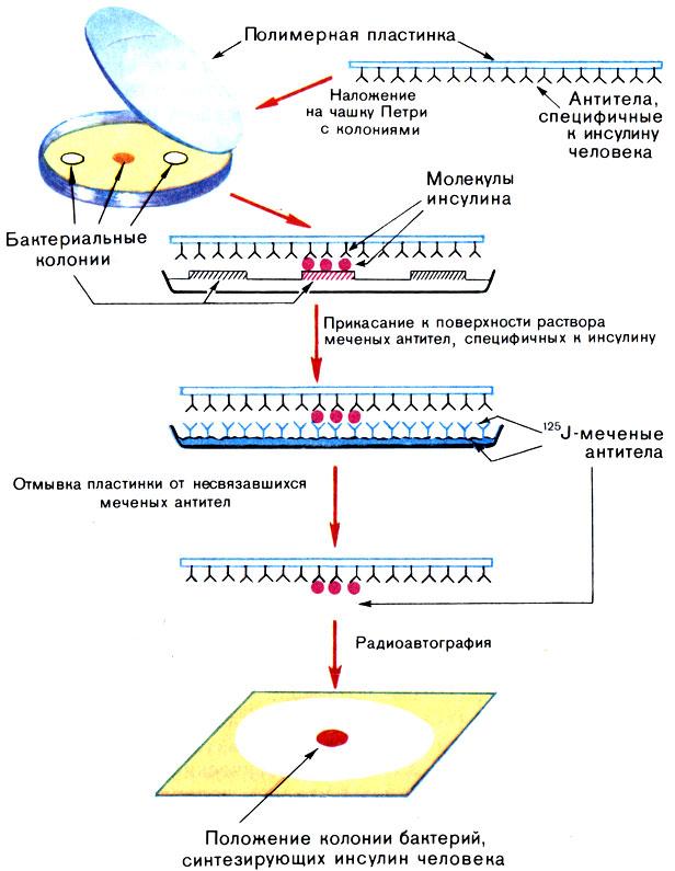 Схема поиска бактериальных