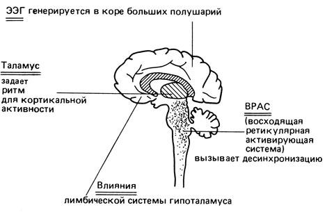 схема человеческого мозга,