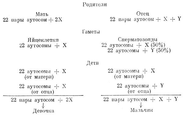 X и y сперматозоиды