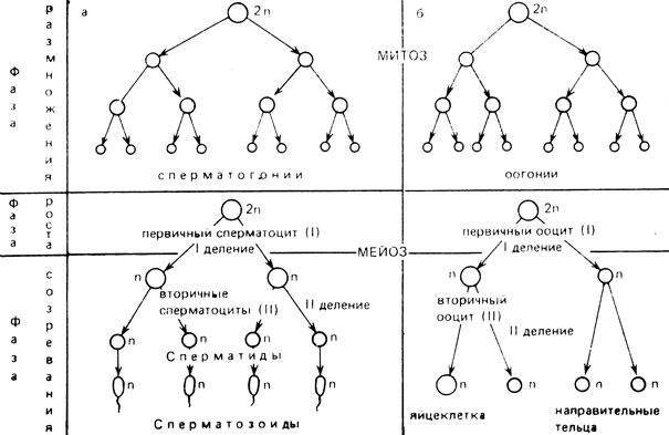 Схема сперматогенеза (а) и