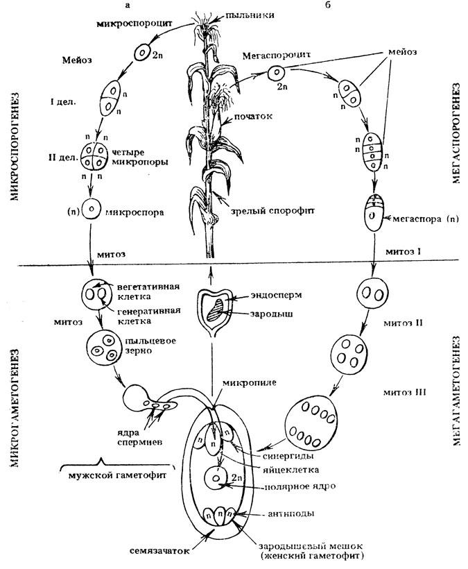 Жизненный цикл кукурузы: а