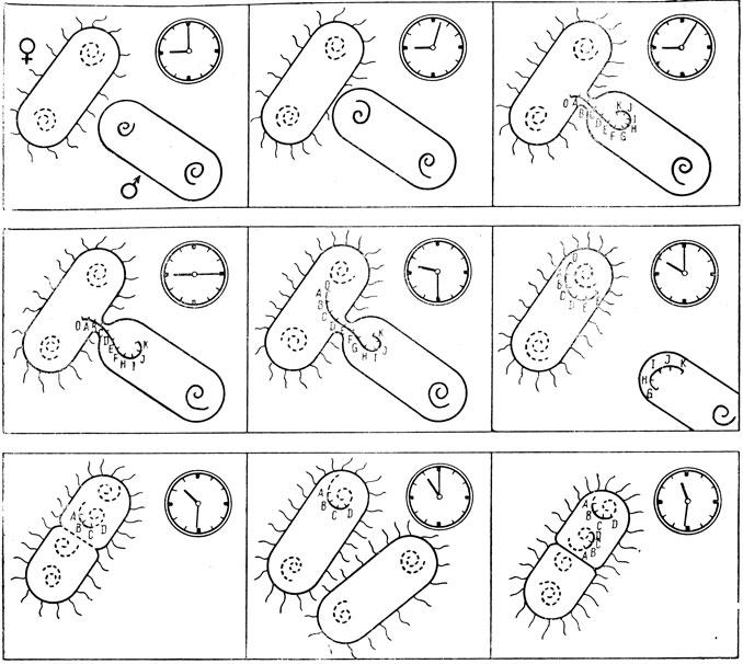 Схема конъюгации Hfr-бактерий