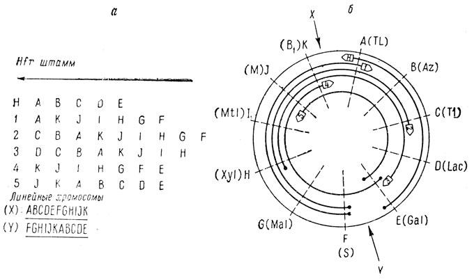 Схема организации хромосомы Е.