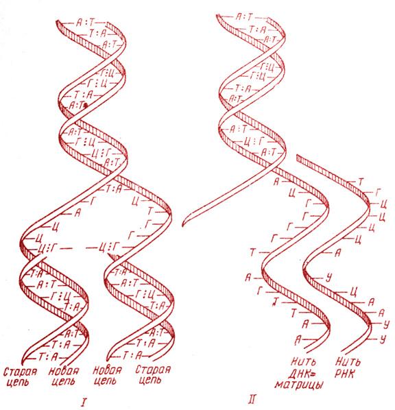 Схема репликации молекулы ДНК