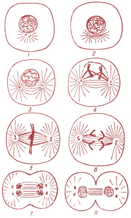 Схема митоза животной клетки.