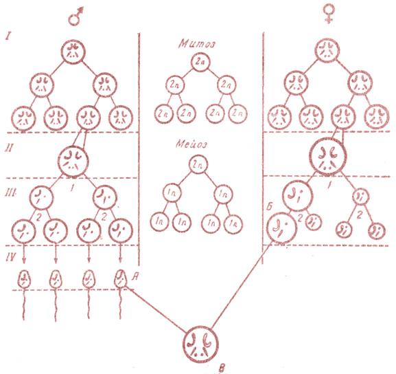 Схема гаметогенеза.