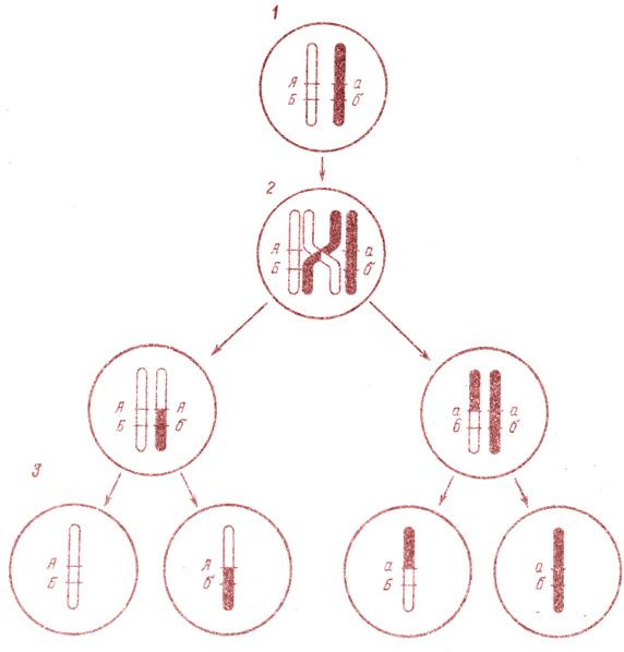 Кроссинговер (схема).